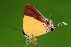 BUTTERFLY.  Charana mandarina Stock Image