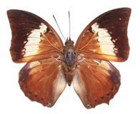 Butterfly (Charaxes borneensis Stock Photo