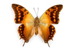 Butterfly Charaxes candiope isolated Royalty Free Stock Images