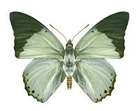 Butterfly Charaxes eupale stock photography