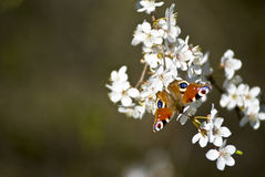 Butterfly on cherry blossom Royalty Free Stock Photo