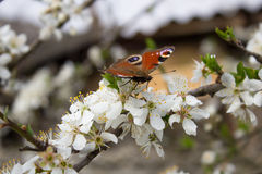 Butterfly on cherry blossom Stock Image