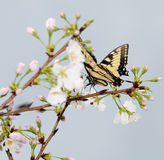 Butterfly on Cherry Blossoms Royalty Free Stock Photos
