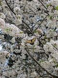 Butterfly on cherry blossoms Stock Images