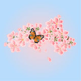 Butterfly and Cherry blossoms Spring  vector Royalty Free Stock Image