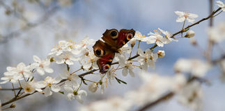 Butterfly on cherry tree Royalty Free Stock Photos