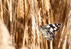 Butterfly Chessboard in the cornfield Royalty Free Stock Photos