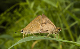 Butterfly Chestnut Bob, Iambrix salsala,  mating Royalty Free Stock Images