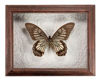 Butterfly Chilasa veiovis in frame isolated on white background.  royalty free stock images