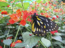 Butterfly Chillin' on Orange-Red Flower. A butterfly is chillin on an orange-red flower in a garden Stock Photography