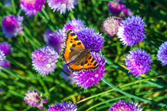 Butterfly on a chive Royalty Free Stock Photo