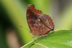 Butterfly; Chocolate Pansy royalty free stock photos