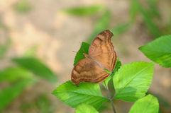 Butterfly (chocolate pansy/ junonia iphita) Royalty Free Stock Photos