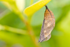 Butterfly chrysalis royalty free stock images