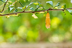 Butterfly chrysalis. Is hanging on branch royalty free stock photo