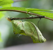 Butterfly chrysalis Stock Image
