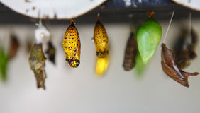 Butterfly chrysalis. Different butterfly chrysalis during pupation stock images