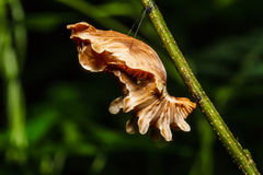 Butterfly Chrysalis Stock Photography