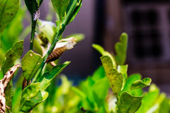 A butterfly chrysalis Stock Image