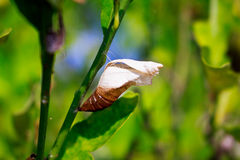 A butterfly chrysalis. Hanging on plant leaf Royalty Free Stock Photos