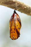 Butterfly chrysalis Royalty Free Stock Photography