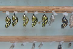 Butterfly Chrysalis Pupas Royalty Free Stock Photo