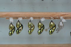 Butterfly Chrysalis Pupas Stock Photo