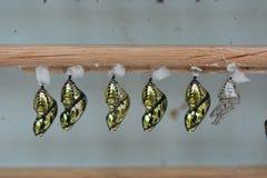 Butterfly Chrysalis Pupas Stock Photo