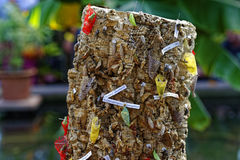Butterfly chrysalises at tree stump. Tree stump with different butterflies in its pupal stage. Entomology Stock Photo