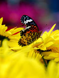 Butterfly on chrysanthemum. A pretty butterfly on a yellow chrysanthemum Royalty Free Stock Image