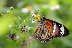 Butterfly and chrysanthemum Stock Photos