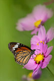 Butterfly on the Chrysanthemum with butterfly Royalty Free Stock Photo