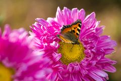 Butterfly on a chrysanthemum flower Royalty Free Stock Image