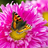 Butterfly on a chrysanthemum flower Royalty Free Stock Images