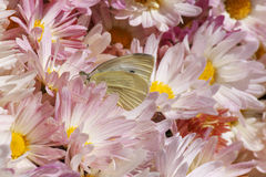 Butterfly in chrysanthemums Royalty Free Stock Images