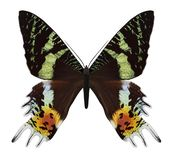 Butterfly Chrysiridia rhipheus royalty free stock images