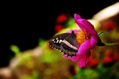 Butterfly cider on a flower. A beautiful butterfly nectar on a pink flower looks very georgeous stock photos