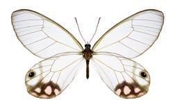 Butterfly Cithaerias pyropina stock photos