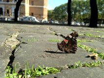 Butterfly in the city. Butterfly on the pavement in the city Royalty Free Stock Images