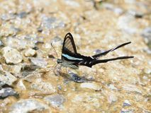 Butterfly, clear wings and long tail.On a wet concrete floor It is called Green Dragontail stock photography