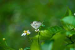 Butterfly. Close focus of a white butterfly is standing on green leaf stock image