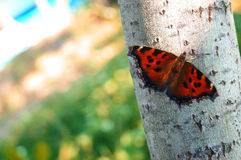 Butterfly close to the birch tree. Background royalty free stock photos