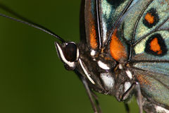 Butterfly close-up Royalty Free Stock Images