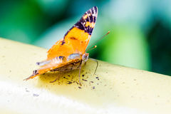 Butterfly close-up Stock Photography