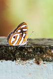 Butterfly close-up Royalty Free Stock Photography