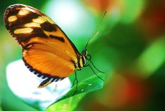 Tiger Heliconion Butterfly Royalty Free Stock Images