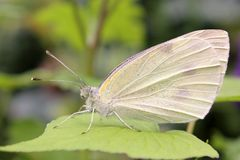 Butterfly, Close-up, Insect Stock Photography