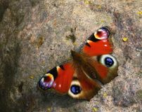 Butterfly close-up outdoors stone Royalty Free Stock Image