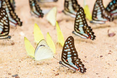 Butterfly close up pattern. A family of yellow butterfly resting on the river bank Stock Photos