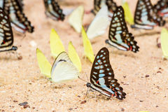 Butterfly close up pattern. A family of yellow butterfly resting on the river bank Royalty Free Stock Image